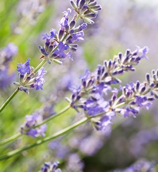 Weleda Lavender